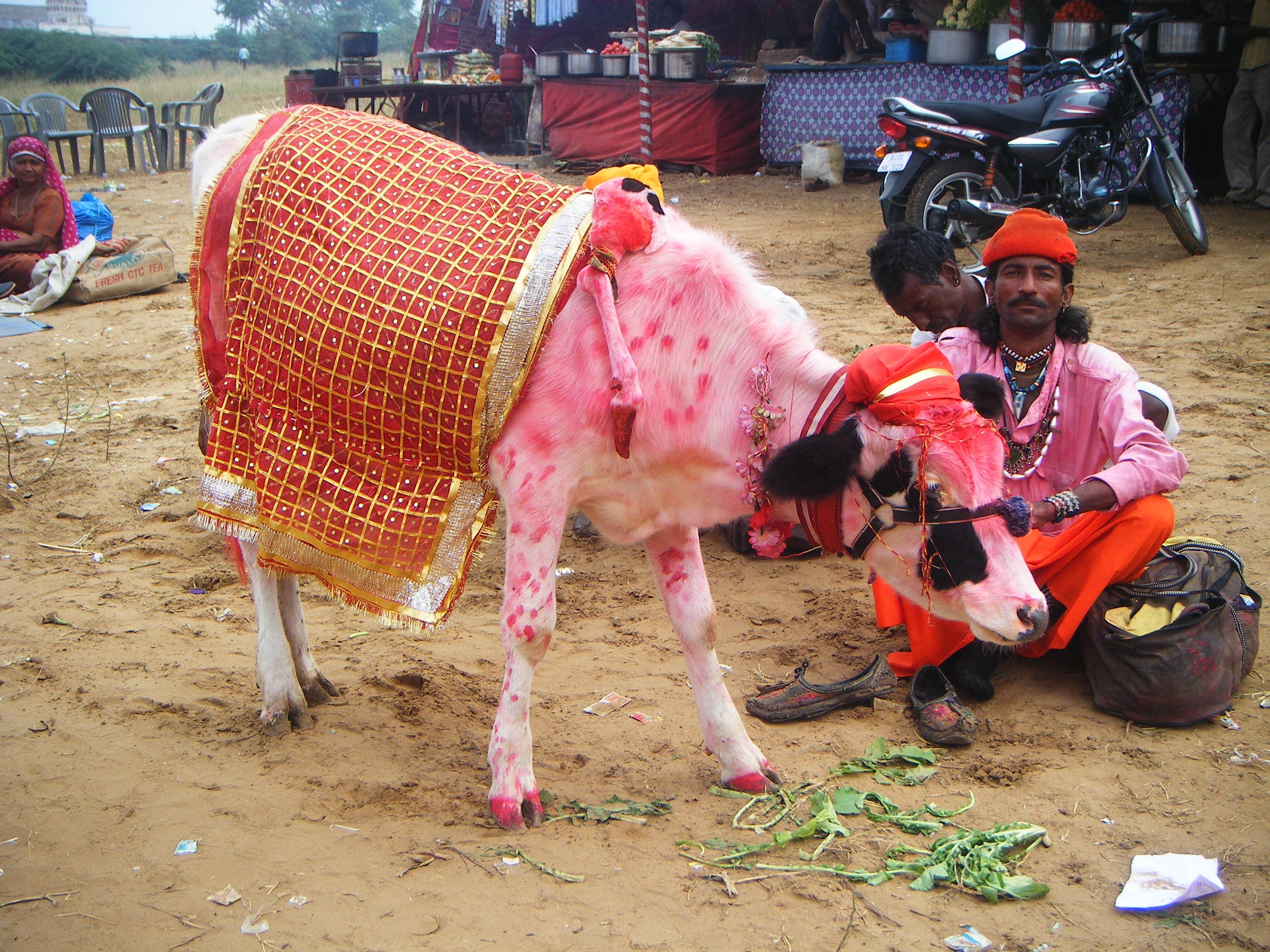 La grande foire de Pushkar, quand des chevaux aux yeux bleus observent les chameaux grimés ou les vaches roses