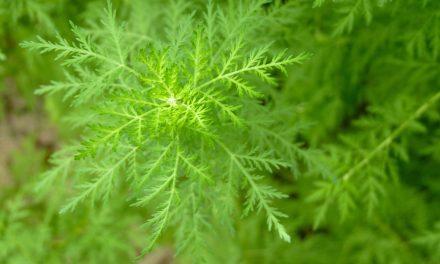 PAMacée, à la découverte des plantes qui soignent